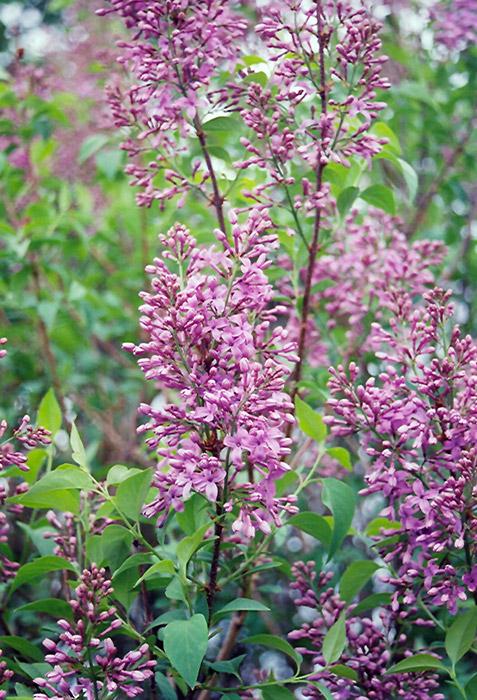 Saugeana Lilac (Syringa X Chinensis U0027Rubrau0027) At Landscape Garden Centers