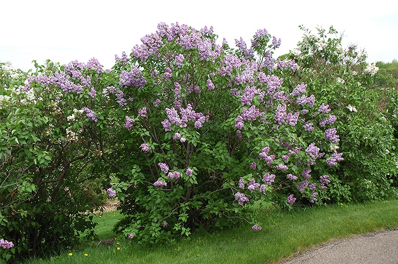 michel buchner lilac syringa vulgaris 39 michel buchner 39 in sioux falls brandon dell rapids. Black Bedroom Furniture Sets. Home Design Ideas