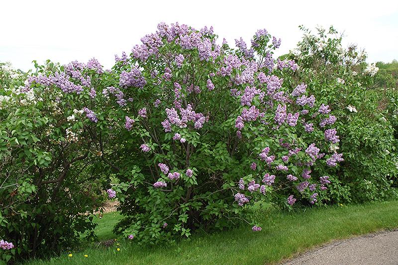 michel buchner lilac syringa vulgaris 39 michel buchner 39 in sioux falls brandon dell rapids. Black Bedroom Furniture Sets. Home Design Ideas