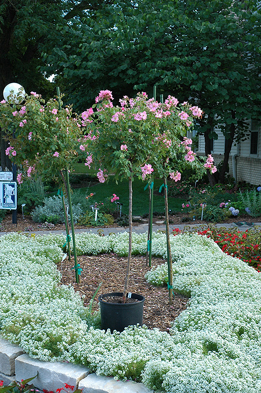 Delicieux Polar Joy Rose (Rosa U0027Polar Joyu0027) At Landscape Garden Centers