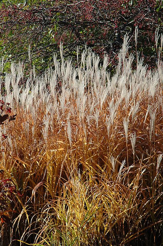 Flame Grass (Miscanthus Sinensis U0027Purpurascensu0027) At Landscape Garden Centers