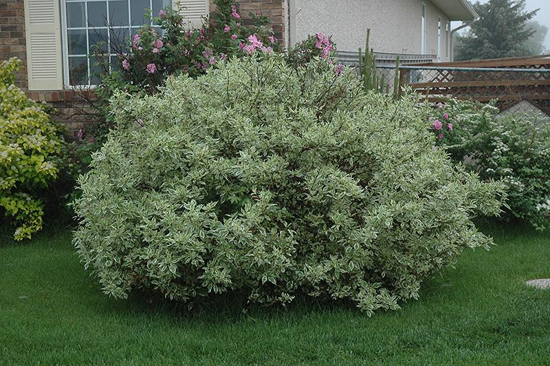 Ivory Halo Dogwood (Cornus Alba U0027Ivory Halou0027) At Landscape Garden Centers