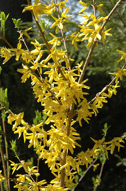 Meadowlark Forsythia (Forsythia U0027Meadowlarku0027) At Landscape Garden Centers