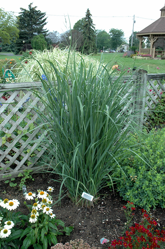 Northwind Switch Grass (Panicum Virgatum U0027Northwindu0027) At Landscape Garden  Centers
