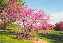 Northern Strain Redbud (Cercis canadensis 'Northern Strain') at Landscape Garden Centers