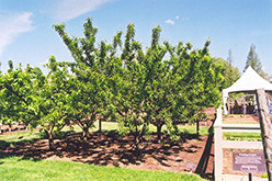 Mount Royal Plum (Prunus 'Mount Royal') at Landscape Garden Centers