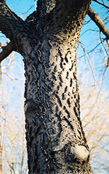 Common Hackberry (Celtis occidentalis) at Landscape Garden Centers