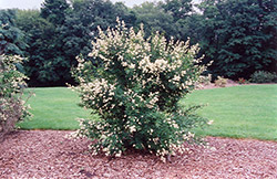 Cheyenne Common Privet (Ligustrum vulgare 'Cheyenne') at Landscape Garden Centers