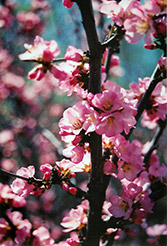 Flowering Plum (Prunus triloba) at Landscape Garden Centers