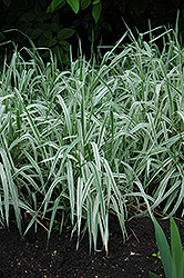 Variegated Ribbon Grass (Phalaris arundinacea 'Picta') at Landscape Garden Centers