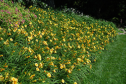 Happy Ever Appster® Happy Returns Daylily (Hemerocallis 'Happy Returns') at Landscape Garden Centers