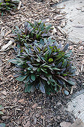 Chocolate Chip Bugleweed (Ajuga reptans 'Chocolate Chip') at Landscape Garden Centers