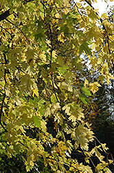 Silver Maple (Acer saccharinum) at Landscape Garden Centers