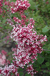 Tinkerbelle Lilac (Syringa 'Tinkerbelle') at Landscape Garden Centers