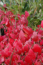 Burning Bush (tree form) (Euonymus alatus '(tree form)') at Landscape Garden Centers