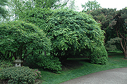 Japanese Maple (Acer palmatum) at Landscape Garden Centers