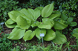 Sum and Substance Hosta (Hosta 'Sum and Substance') at Landscape Garden Centers