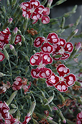 Spangled Star Pinks (Dianthus 'Spangled Star') at Landscape Garden Centers