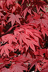 Emperor I Japanese Maple (Acer palmatum 'Wolff') at Landscape Garden Centers