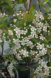 Viking Chokeberry (Aronia x prunifolia 'Viking') at Landscape Garden Centers