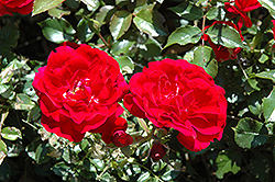 Paint The Town Rose (Rosa 'Paint The Town') at Landscape Garden Centers