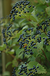Red Feather Viburnum (Viburnum dentatum 'JN Select') at Landscape Garden Centers