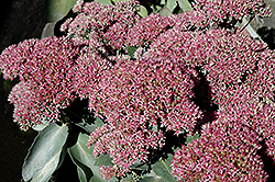 Autumn Delight Stonecrop (Sedum 'Autumn Delight') at Landscape Garden Centers