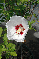 Red Heart Rose Of Sharon (Hibiscus syriacus 'Red Heart') at Landscape Garden Centers