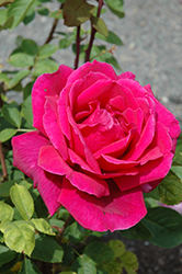 Chrysler Imperial Rose (Rosa 'Chrysler Imperial') at Landscape Garden Centers
