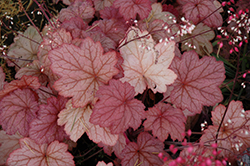 Georgia Peach Coral Bells (Heuchera 'Georgia Peach') at Landscape Garden Centers