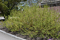 Bud's Yellow  Dogwood (Cornus alba 'Bud's Yellow') at Landscape Garden Centers
