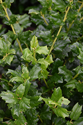 China Girl Meserve Holly (Ilex x meserveae 'China Girl') at Landscape Garden Centers