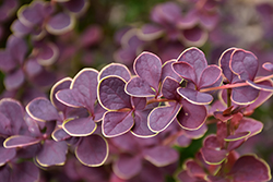 First Editions® Toscana™ Barberry (Berberis thunbergii 'BailJulia') at Landscape Garden Centers