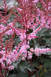 Delft Lace Astilbe (Astilbe 'Delft Lace') at Landscape Garden Centers