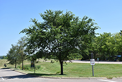Cathedral Elm (Ulmus 'Cathedral') at Landscape Garden Centers