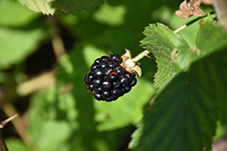 Jewel Black Raspberry (Rubus occidentalis 'Jewel') at Landscape Garden Centers