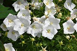 White Clips Bellflower (Campanula carpatica 'White Clips') at Landscape Garden Centers