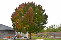 Windy City White Ash (Fraxinus americana 'Windy City') at Landscape Garden Centers