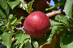 Haralred Apple (Malus 'Haralred') at Landscape Garden Centers